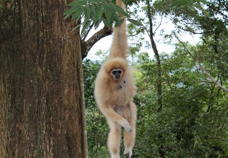 flight-of-the-gibbon