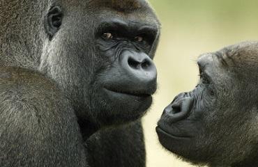 Уганда подарит зоопарку в Чианг-Май двух горилл