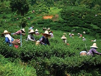 Чай в Таиланде