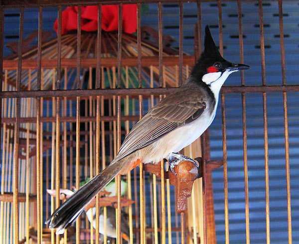 Конкурс певчих птиц в Таиланде
